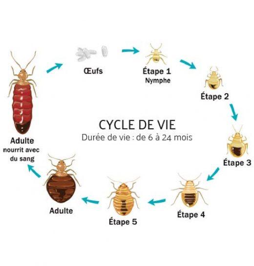Cycle de vie des punaises de lit
